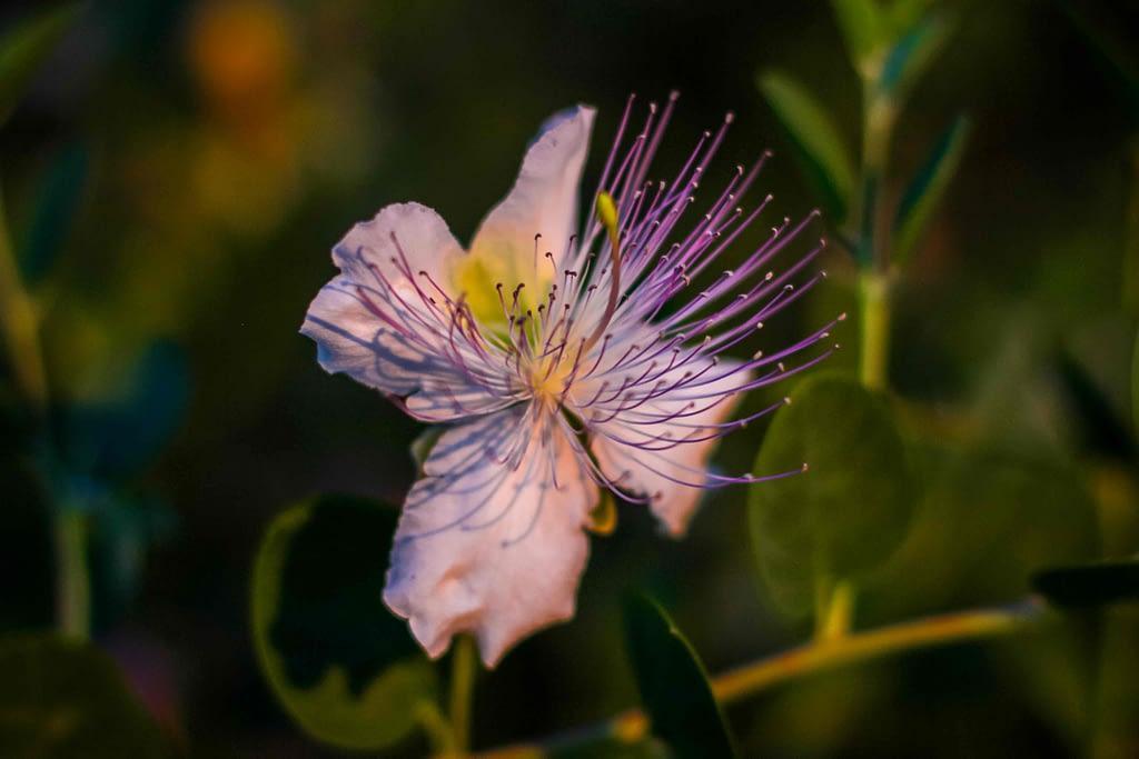 floare din grecia